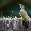 European Green Woodpecker, Picus viridis, juvenile female. (Photo: Tim Jones)