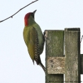 European Green Woodpecker, Picus viridis, female. (Photo: Tim Jones)