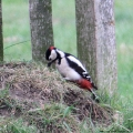Great Spotted Woodpecker, Dendrocopus major, male, Surrey - UK, (Photo:Tim Jones)