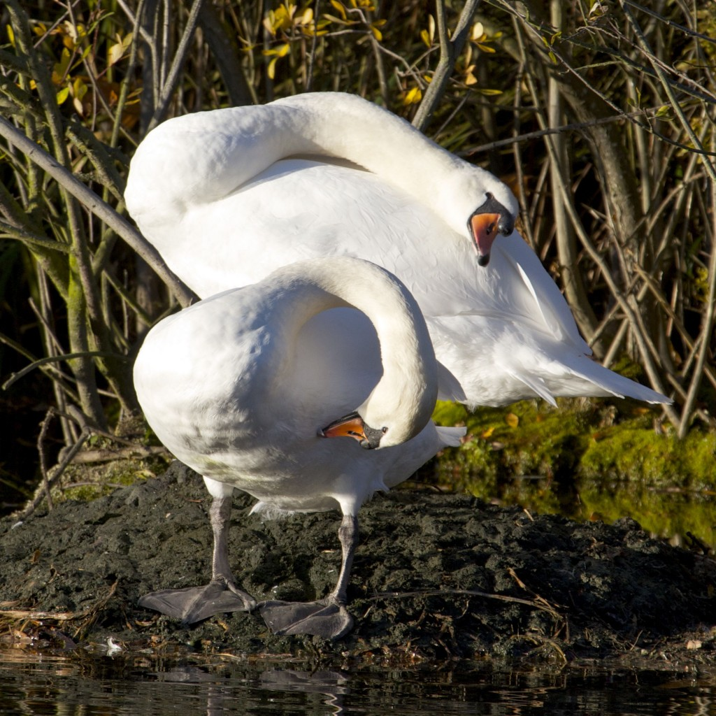 Mute Swan Pair in Synchronised Preening (Photo:Tim Jones)