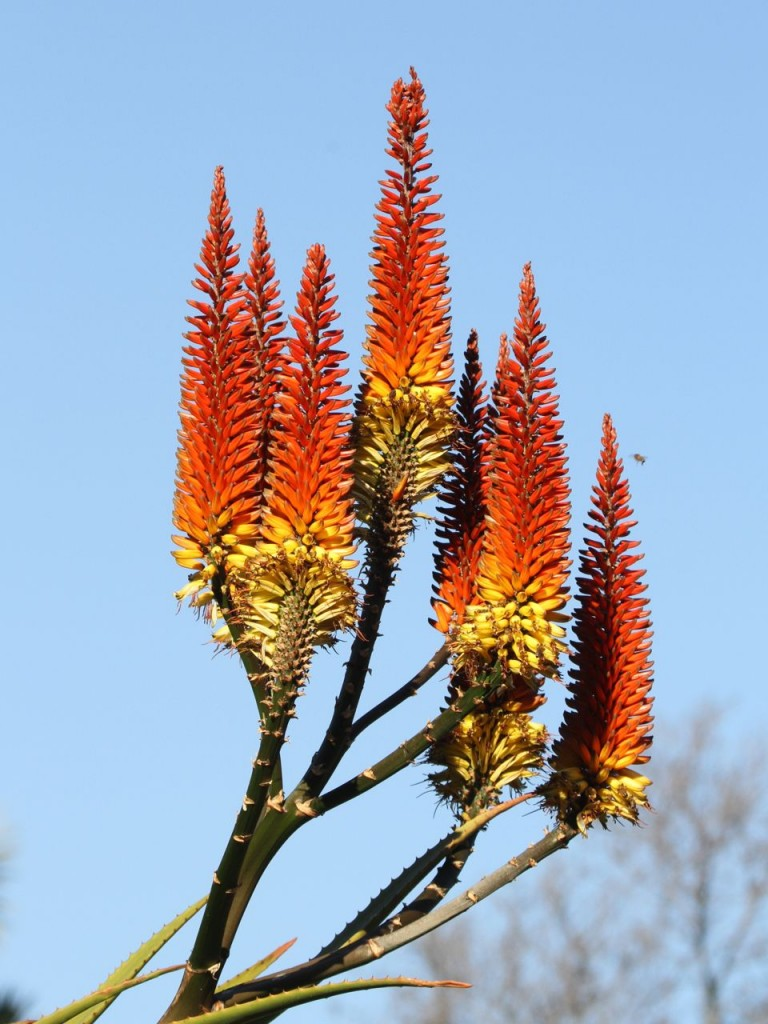 Aloe plant at Huntington Gardens © Tim Jones
