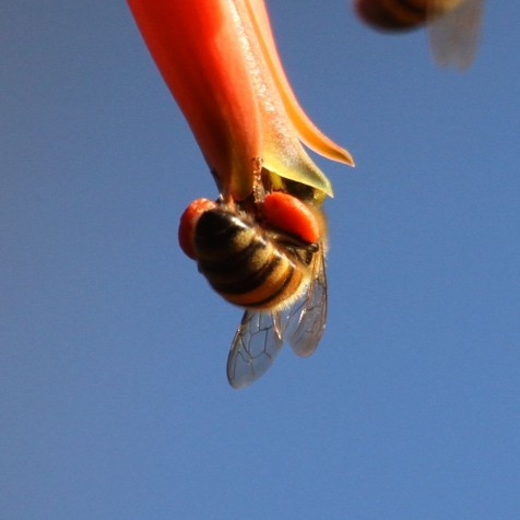Bee entering Aloe flower with pollen baskets