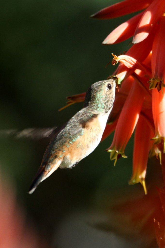 Humming Bird Feeding on Aloe (©Tim Jones)