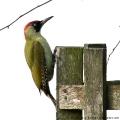 European Green Woodpecker, Picus viridis, female. (Photo: Tim Jones)