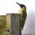 European Green Woodpecker, Picus viridis, male. (Photo: Tim Jones)