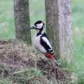 Great Spotted Woodpecker, Dendrocopus major, male, Surrey - UK, (Photo:Tim Jones)