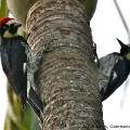 Acorn Woodpecker (Melanenpes formicivorus) Santa Barbara, USA)