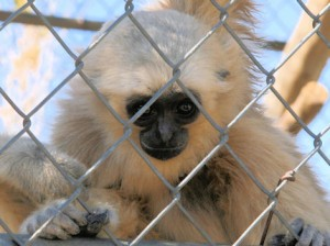 Pileated gibbon, young female Dec. 2008