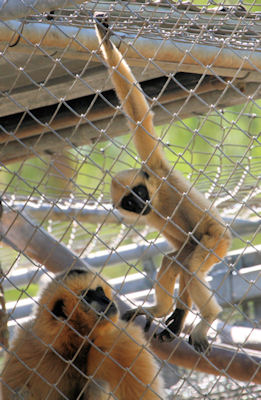 Young White Cheeked Gibbon