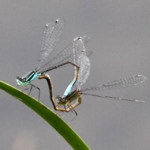 Lestes sponsa (Emerald Damselfly)