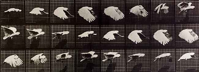 Eadweard Muybridge's Bird in Flight