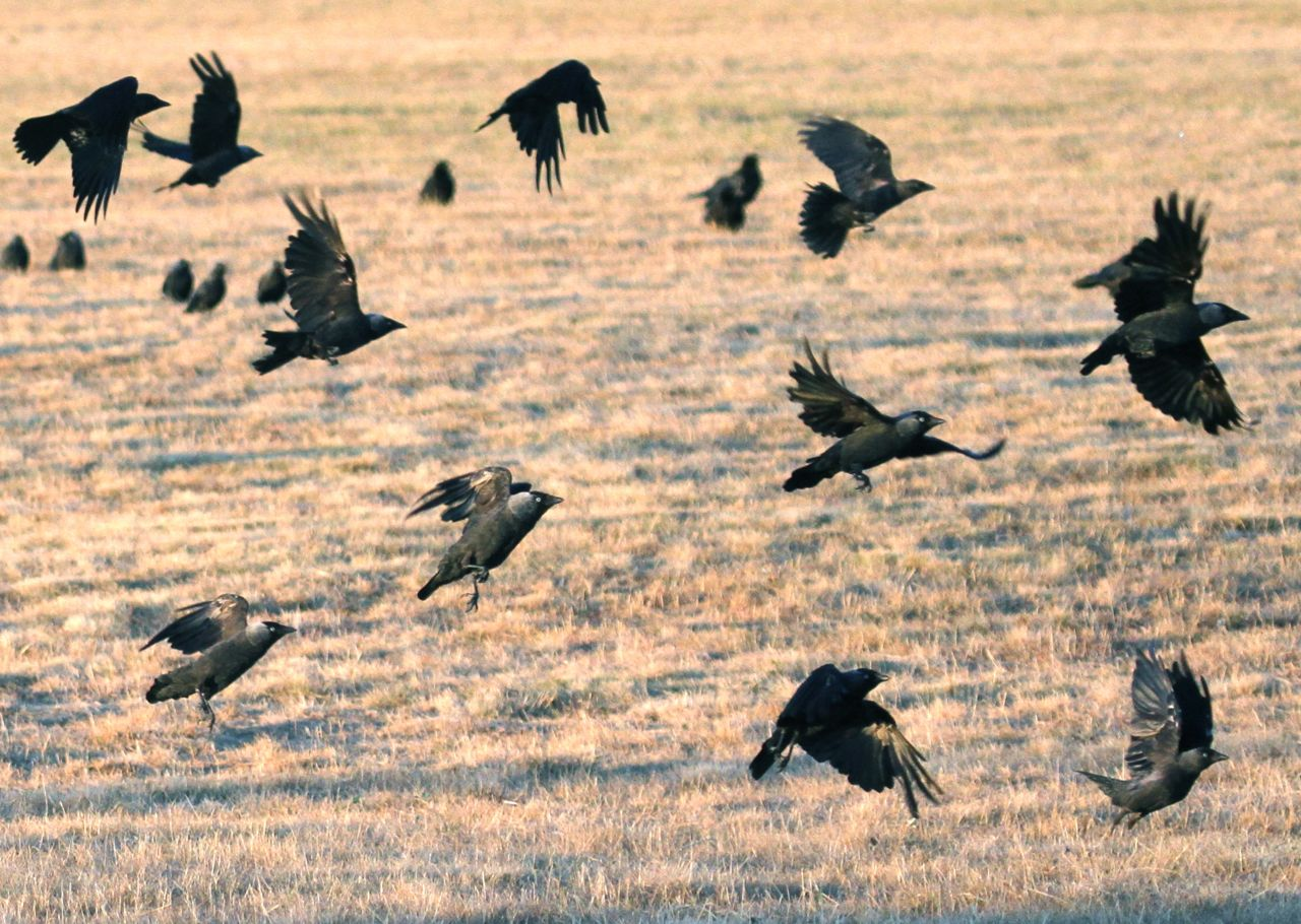 Jackdaws taking off