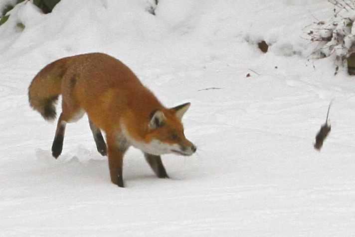 Fox playing with rat (Photo:Tim Jones)