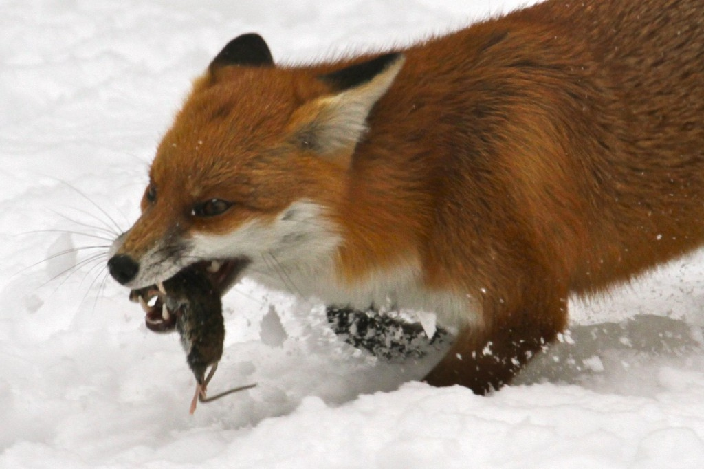 Fox with freshly caught rat (Photo:Tim Jones)