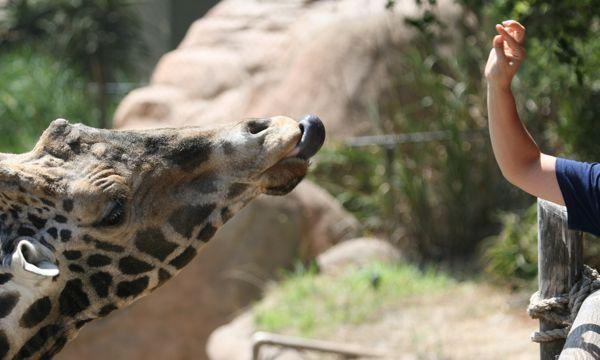 Giraffe feeding time at Santa Barbara Zoo (Photo:Tim Jones)