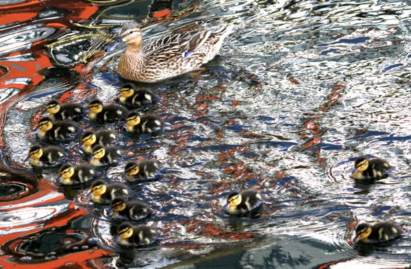 Mallard with 16 ducklings (Photo: © Tim Jones)