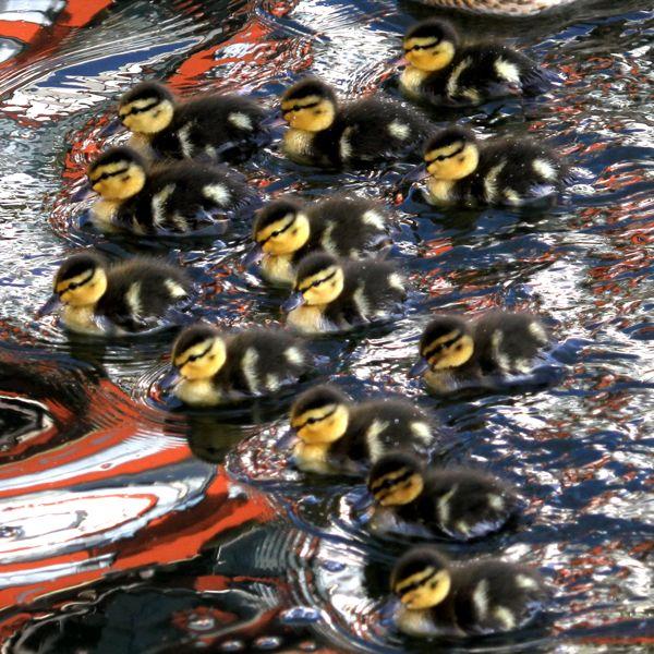 Mallard ducklings (Photo: © Tim Jones)