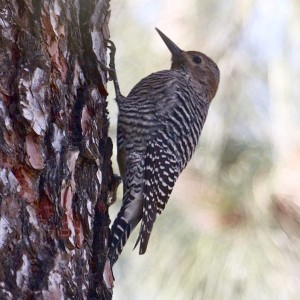 Williamson's Sapsucker pressing tail against tree