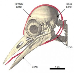 Woodpecker Head. Source: Digital Morphology, http://digimorph.org/specimens/Melanerpes_aurifrons/