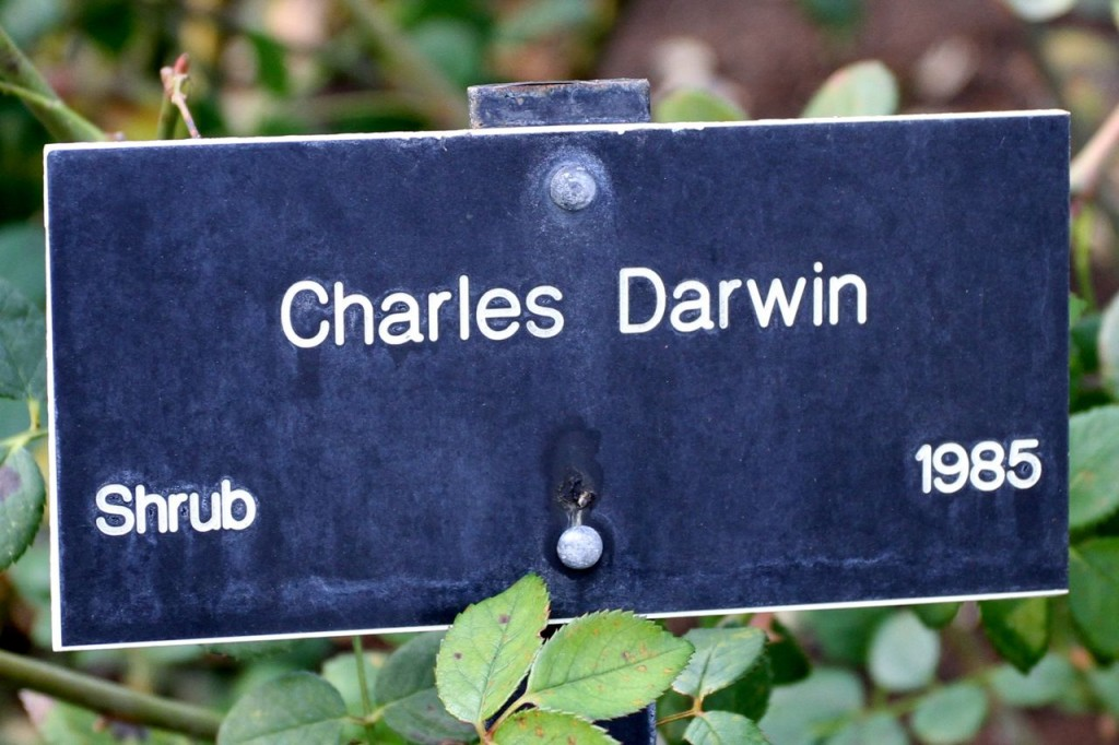 Charles Darwin rose tag (Photo:Tim Jones)