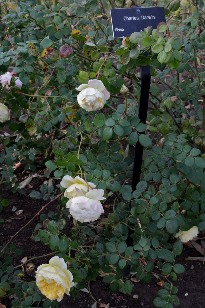 Charles Darwin rose in the grounds of the Huntington Estate, San Marino (Photo:Tim Jones)