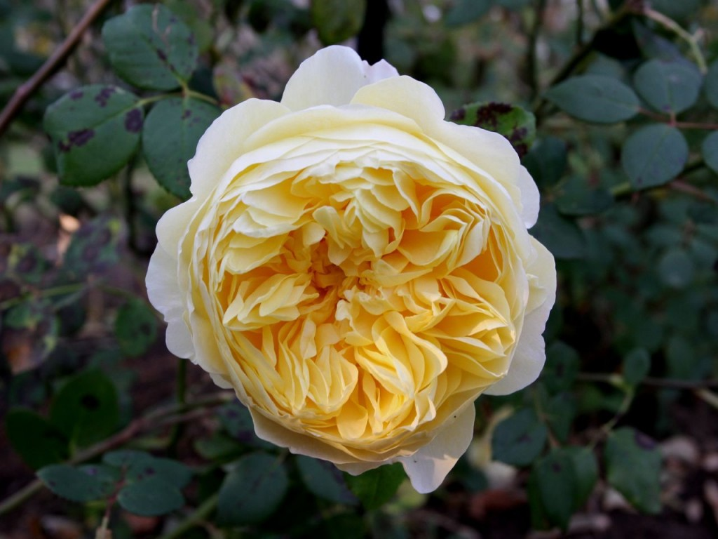 Charles Darwin rose (Photo:Tim Jones)