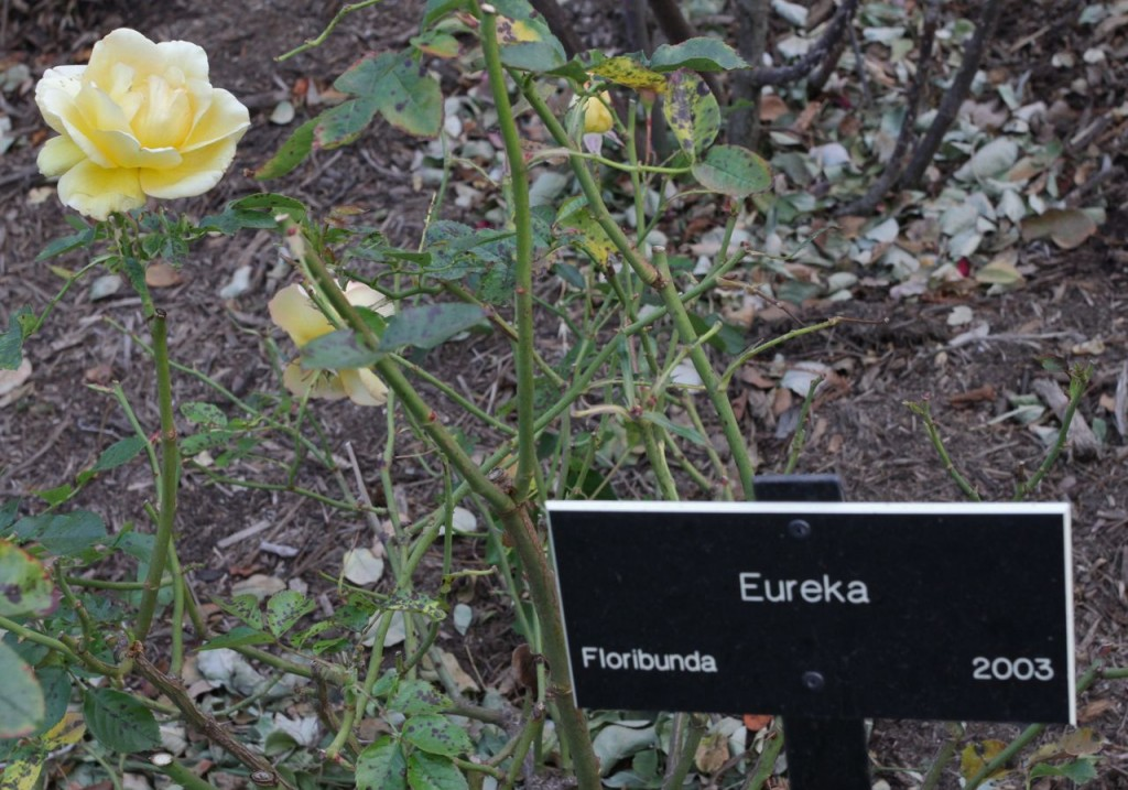 Eureka rose (Photo:Tim Jones)