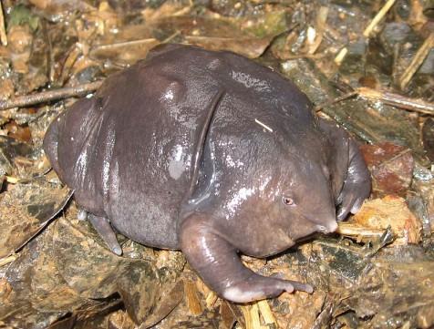 burrow frog