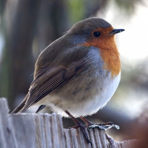 Robin (Photo:Tim Jones)