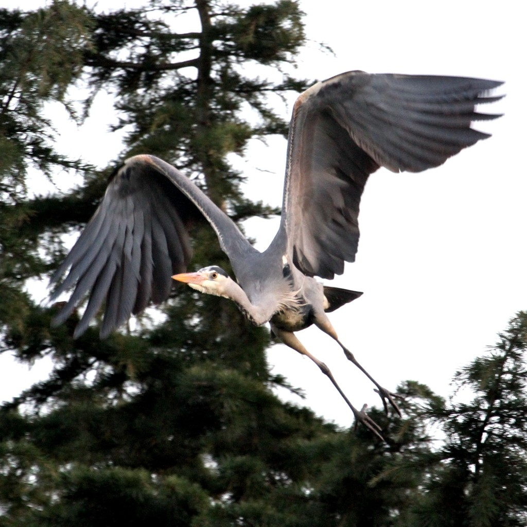 Grey Heron (Photo:Tim Jones)