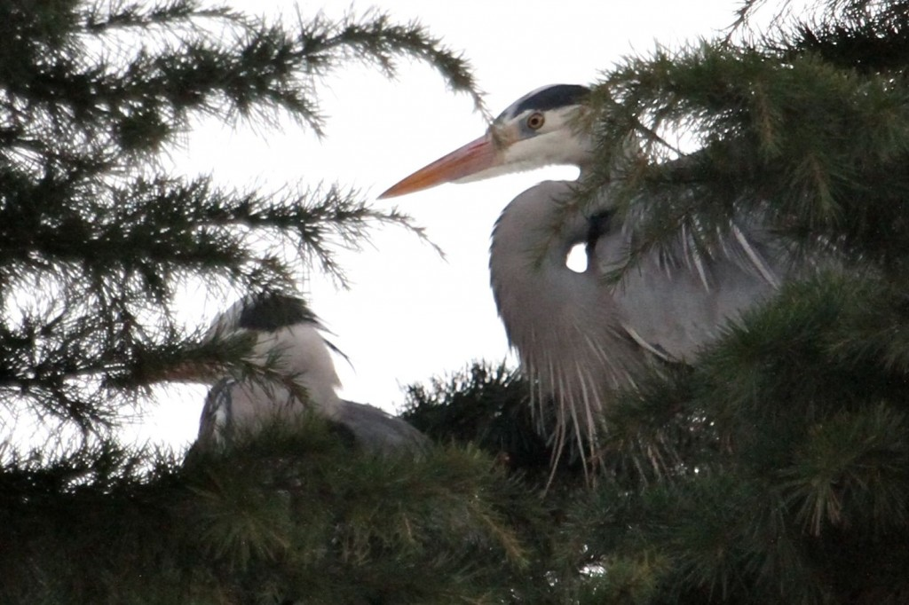 Grey Herons: adult (right) with 'second winter' juvenile (left) (Photo:Tim Jones)
