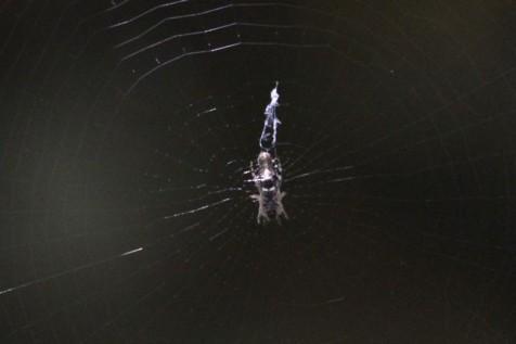 Trashline Orb Weaver Spider