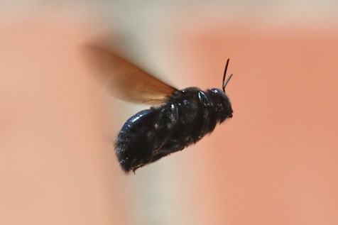 Carpenter Bee on the wing (Photo:Tim Jones)