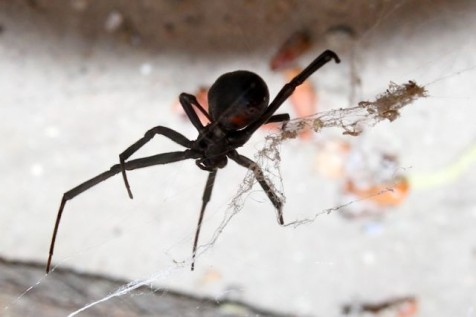 Black Widow Spider (Photo: Tim Jones)