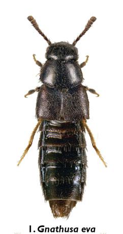 Gnathusa eva Fenyes