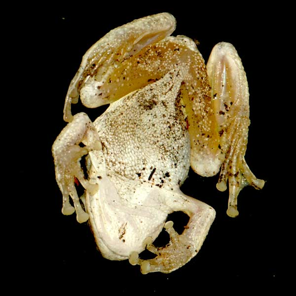 Pseudacris cadaverina - California Treefrog ©Tim Jones