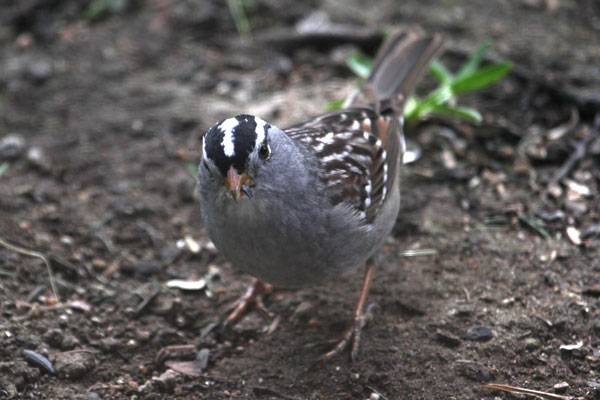 White-crowned sparrow ©Tim Jones